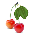sweet cherries vector image