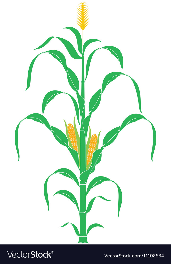 Corn stalk plant vector
