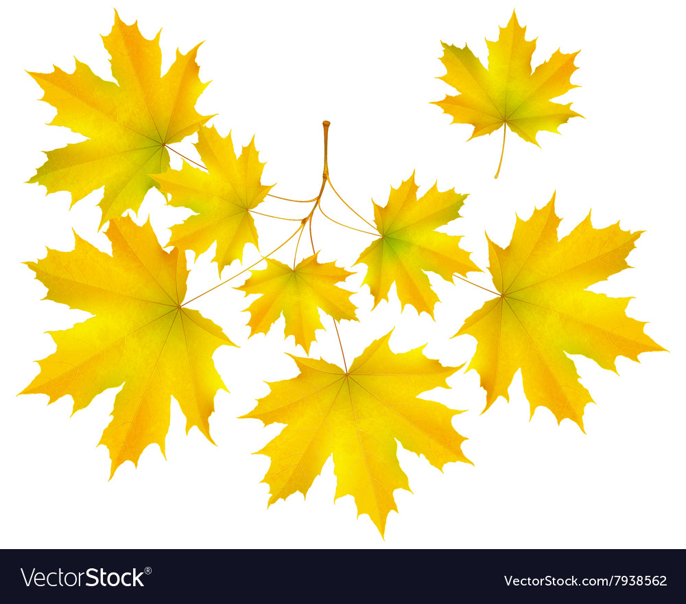Autumn leaf maple and maple branch vector