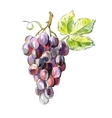 picture of Red grapes vector image vector image