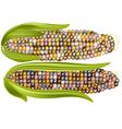 color corn vector image vector image
