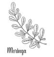 Moringa leaves vintage sketch engraved vector image