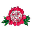 hand drawn peony flower on vector image