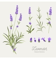Set of lavender flowers elements vector image