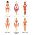 anatomy of female of nerves vector image