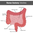 Human Intestines detailed anatomy Medical vector image