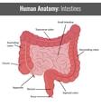 Human Intestines detailed anatomy Medical vector image