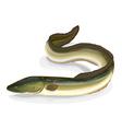 Eel fish vector image vector image