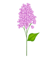 Purple Lilac or Syringa Vulgaris on White vector image vector image