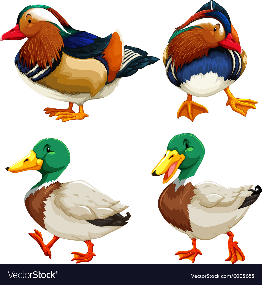 Different kind of ducks vector