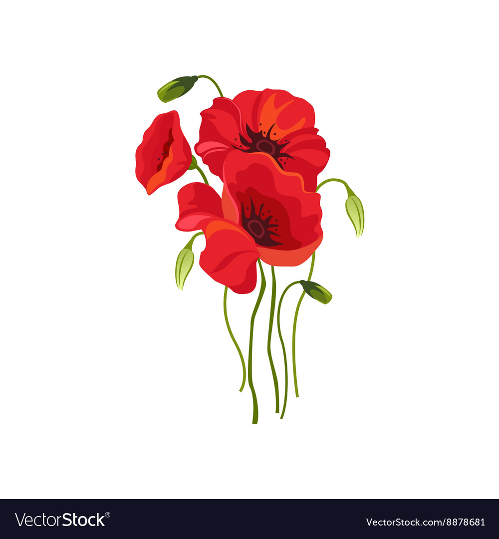 Poppy hand drawn realistic vector