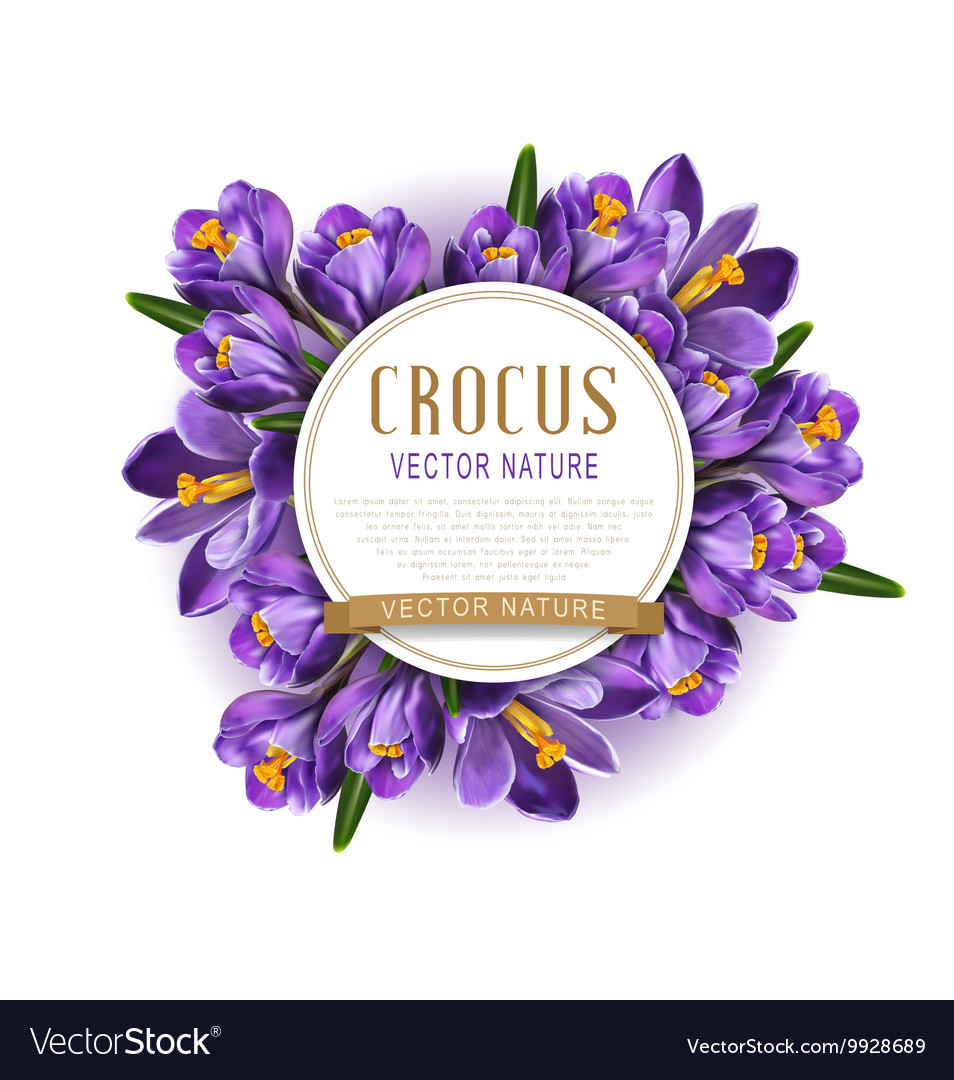 Blue crocuses with white card round vector