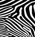 skin of zebra vector image