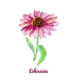 Watercolor medicinal flower of echinacea vector image