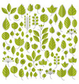 green tree leaves isolated on vector image