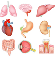 Cartoon of Internal organs anatomy vector image