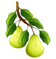 Fresh pears on branch vector image