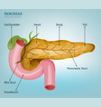 pancreas image vector image vector image