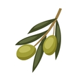 Olive branch with green olives on a white vector image