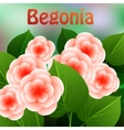 Beautiful spring flowers Begonia Cards or your vector image