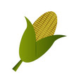isolated corn icon vector image