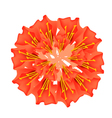 Red Scarlet Flame Bean or Brownea Ariza Flower vector image