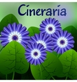 Beautiful spring flowers Cineraria Cards or your vector image
