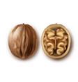 two ripe walnuts vector image