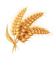 barley ear with leaves realistic isolated wheat vector image