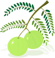 gooseberry vector image vector image