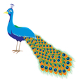 peacock long tail vector image