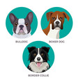 short hair bulldog boxer dog and border collie vector image