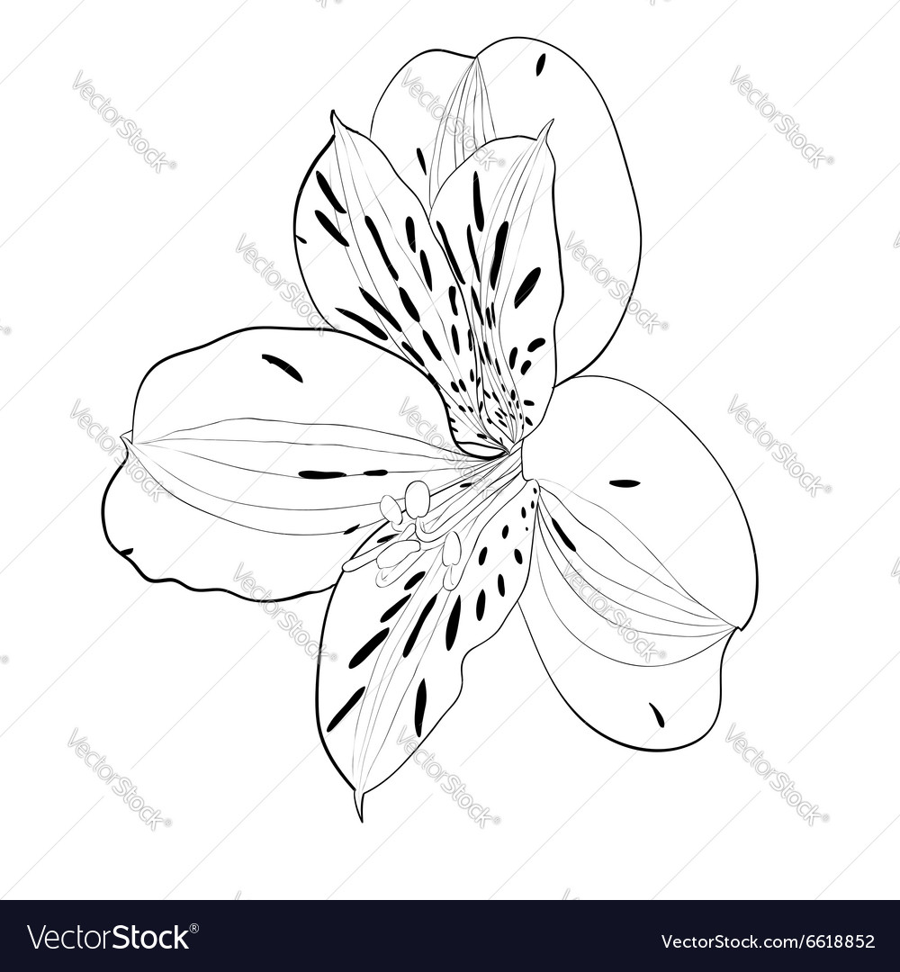 Beautiful monochrome black and white alstroemeria vector