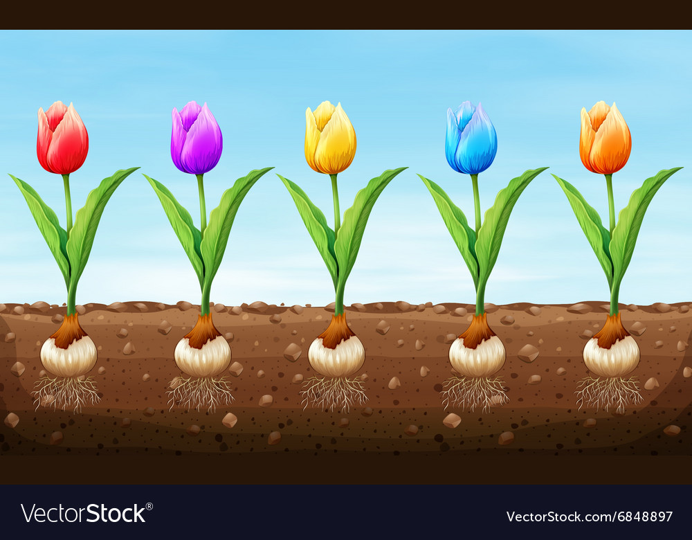 Different color tulip on the ground vector