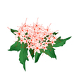 Clerodendrum Paniculatum Flowers or Pagoda Flowers vector image vector image