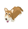isometric welsh corgi vector image