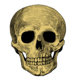 Human skull in engraved style vector image