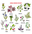 collection of natural herbs for gout vector image
