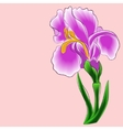 Iris on a pink background vector image