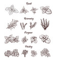herbs and spices set engraving for vector image
