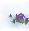crocuses snow vector image