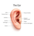 Realistic infographic ear icon vector image
