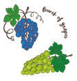 bunch of grapes vector image