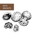 Nuts Walnuts vector image
