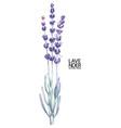 watercolor lavender bouquet vector image