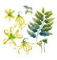 watercolor ylang ylang set vector image