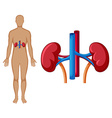 Human and kidney diagram vector image vector image
