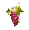 red grape vector image vector image