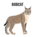 full length spotted bobcat vector image vector image