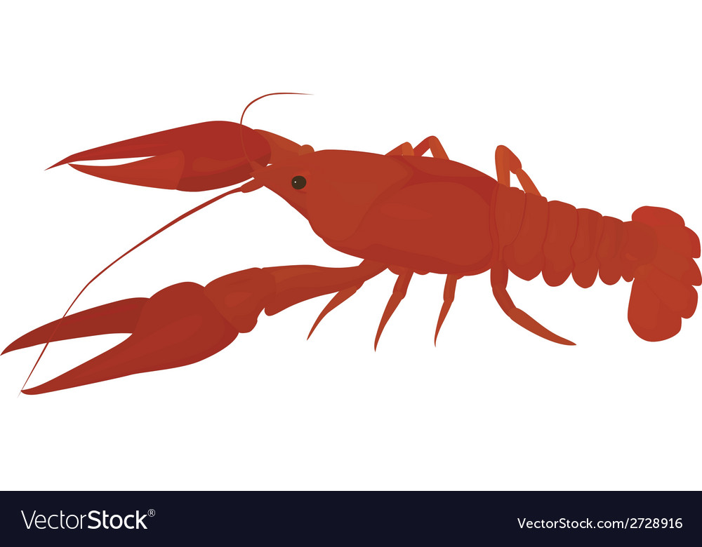 Red crayfish vector